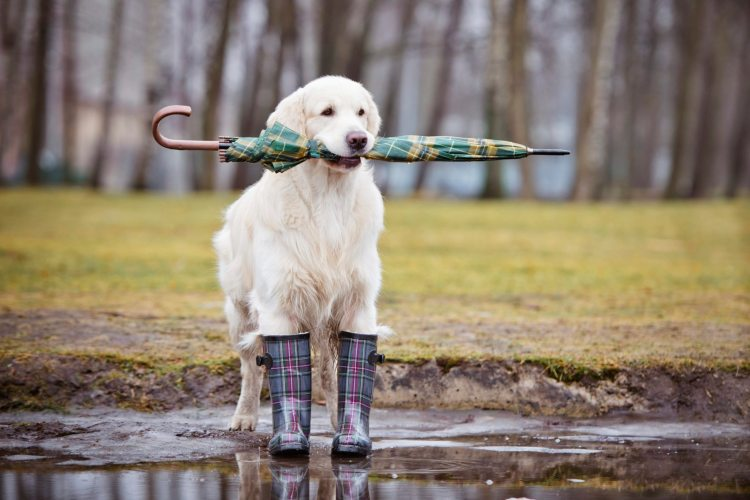 Doggie-in-the-rain_iStock_000034808008Large-copy